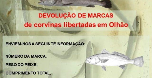 EPPO Liberta corvinas marcadas na Ria Fomosa